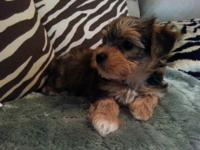 10-weeks old Morkie for sale 1-Male Morkie(1-Golden