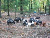 We have 5 feeder pigs for sale. Duroc & Hampshire