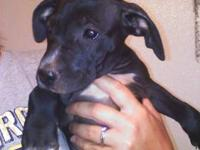 2 black and white female full blooded pitbull puppies
