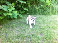 LILY IS AN ADORABLE PUREBRED ENGLISH BULLDOG. SHE IS UP