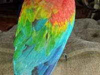 baby ruby macaw he is a hybrid dad is a scarlet mom is