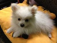 I am selling my little Pomeranian female puppy. She is