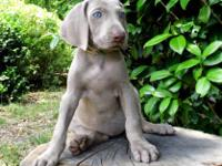 **DOB 08/17/2015 1 male Silver Grey Puppy Available, 10