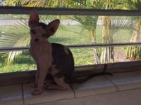 Sphynx kittens for adoption. Kittens are 10 weeks old,