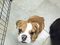 Hello I need to rehome my Victorian English bulldog.