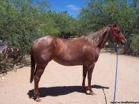 Beautiful red roan mare 15.2 hds Has won buckle in