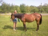 10 year old bay broodstock paint mare. Has been ridden