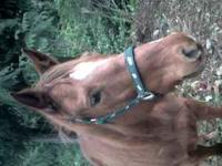 Honey Wonderful 10 year old QH/TW 16.2 H Takes great