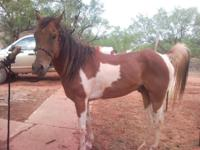 Gorgeous 10 yr old paint gelding - 14 1/2 hh, gentle,