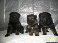 AKC 100% DDR EAST GERMANSHEPHERD WORKING LINE PUPPIES.