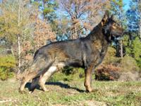 -TAKING RESERVATIONS NOW - Sire: BIS, INT/GRCH Opie Vom