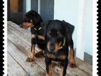 2 black male doberman young puppies they are declawed