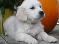 We have Beautiful Full English Golden Retriever Puppies