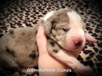 100 % European AKC CH lined wonderful dane children for