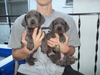 100% Full Euro puppies!!! Ready now. $1000 for females