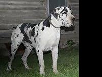 I have 2 beautiful 100 % Euro Great Dane puppies. Both