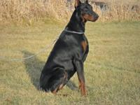 expecting a litter of Doberman puppies around august