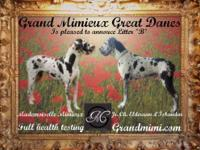 Grand Mimieux Great Danes is pleased to announce our