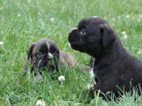 I have 2 brindle ladies 5 weeks old will certainly be