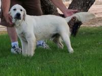 Max is a gorgeous snow white 100% European Golden