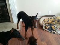 I have one male and two female Dobermans that I am