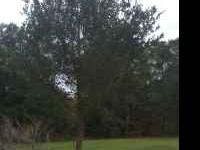 DONT WANT TO WAIT YEARS FOR YOUR LIVE OAK TO GET BIG? I