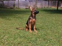 Lovely AKC 100 % GERMAN BLACK AND RED MALE ... ONE