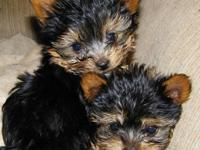 Pair Yorkie puppies for adoption to any good and lovely
