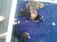 I have 6 pups for sale for 300$ or I'm willing to trade