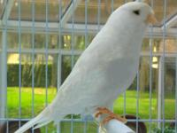 $100 Reduction - Beautiful Singing White Canaries -