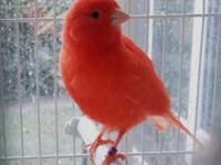 The astonishing red canary has an awe-inspiring