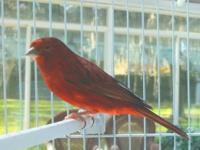 This is the prettiest red canary we have seen. It sings