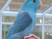 The most gorgeous blue beauty in a parrotlet that has