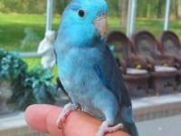 This is the most incredible blue male parrotlet in