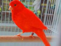 Introducing a new line of red canaries that are so
