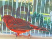 This is the most vibrant red canary we have ever seen.