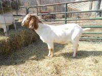 100% Fullblood Boer Doe (NSA S Madame Lucie Traditional
