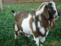 For Sale 100% Registered Boer Bucks Call  or reply to