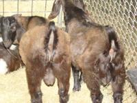 Nice selection of 100% Boer Goat Bucks for sale ready
