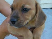 Beautifule 2nd Generation Male Puggle. Nice dark Mask,