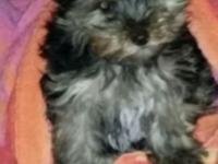 Yorkshire Terrier 11 weeks old. Pics and Resistration