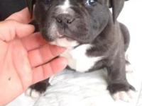AMERICAN BULLY PUPS AVAILABLE MALE AND FEMALE HAVE HAD