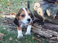 This male beagle is 11 weeks old can be signed up with