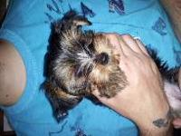 Scooby is an 11 week old full blooded yorkie. He is the
