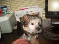 11 week old Morkie Mom and father both AKC he was the