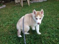 I have an 11 week old siberian husky that I have to