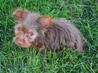 Gorgeous Tea Cup Yorkie, gonna be small. I'll try to