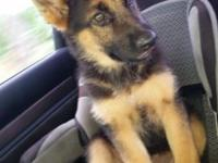 Felicia is a sharp looking German Shepherd puppy with a