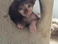 Thank you for your interest. Sphynx kittens up for