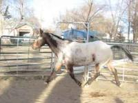 Well broke 11 yr old Appy gelding, a great trial horse.